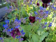 Poppies and borage