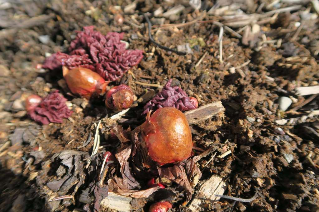 Emerging rhubarb