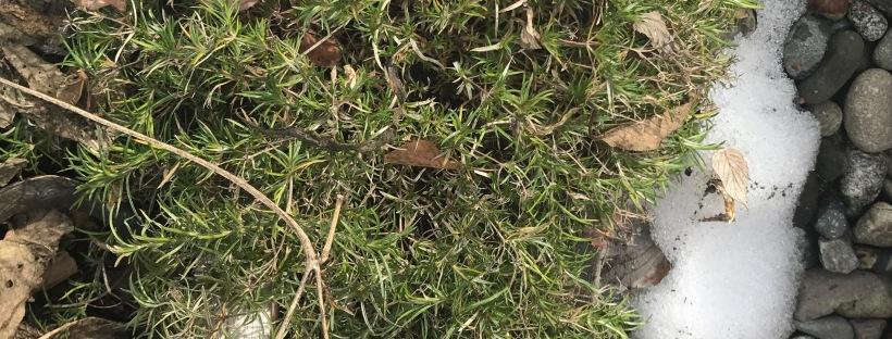 Moss Phlox