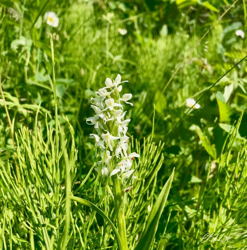 native orchid